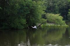 DSC_0031 (rlnv) Tags: bird heron animal newjersey flight princeton greatblueheron delawareandraritancanalstatepark 1855mmf3556gii nikond40x newjerseystateparks