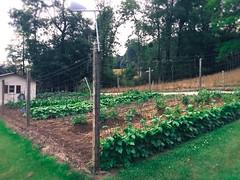 Our Garden (shutterbugluv88) Tags: garden tennessee veggies homegrown