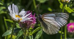 Pihlajaperhonen (Aporia crataegi), Black-veined White (pohjoma) Tags: hyönteinen hyönteiset perhonen pihlajaperhonen päiväperhonen aporiacrataegi blackveinedwhite butterfly moth canoneos7dmarkii canonef100mmf28lmacroisusm