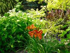 Yesterday in my garden (lovesdahlias 1) Tags: gardens flowers blossoms hydrangeas tigereyessumac coggyria daylilies cranesbill nature summer newengland