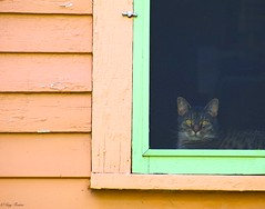Here's Looking' at You (Gay Foster) Tags: house green window cat eyes painted staring mesmerized