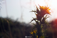flower (HugoSilvaDesigns) Tags: flower sun flare sunflare 50mm f18 canon 60d outdoor nature depthoffield