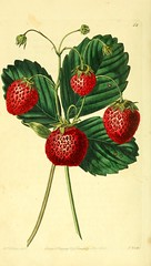 n21_w1150 (BioDivLibrary) Tags: fruitculture greatbritain periodicals umassamherstlibrariesarchiveorg bhl:page=21837312 dc:identifier=httpbiodiversitylibraryorgpage21837312 artist:name=augustainneswithers illustrator:wikidata=q2870951 artist:viaf=95819243 taxonomy:common=downtonstrawberry womeninscience augustainneswithers q2870951 hernaturalhistory