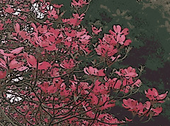 Pink Dogwood  (Digital Woodcut) (randubnick) Tags: art photography spring photograph painter dogwood pinkdogwood digitalwoodcut painter12