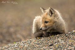 Red Fox Pup (Mitch Vanbeekum Photography) Tags: wild baby young nj fox kit pup redfox vulpesvulpes greatswamp baskingridge canon5dmkiii naturesharmony canonef500mmf4is canon14teleconvertermkiii