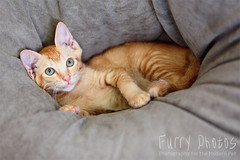 130515_Bambi_008 (furry-photos) Tags: pet cat kitten adopt adoption