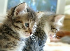 Cocoa y Polainas (Ani Carrington) Tags: love cat kitten soft sweet tabby tenderness tabbykittens