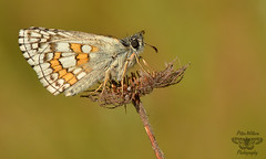 The Yellow-banded Skipper (Pyrgus sidae) (Pete Withers) Tags: