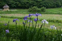 菖蒲園 木間-2715 (Gansan00) Tags: pentax 花 散歩 植物 菖蒲 菖蒲園 k5ⅱs 木間