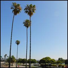 Tall and narrow (Di's Eyes) Tags: palmtrees tall trunks narrow odc