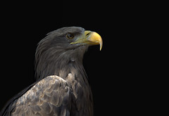 Sea Eagle -Seeadler (pe_ha45) Tags: seaeagle greifvogel whitetailedeagle seeadler haliaeetusalbicilla pigargo adlerwarteberlebeck pigargoeuropeo grandaigledemer guilamarina aiglebarbu