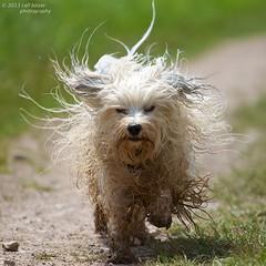 Struwwelpeter (buchsammy) Tags: wild dog fun deutschland action joy longhair dirty hund ralf bichon juli mika weiss sonntag havanese nass struwwelpeter bitzer wuschel schmutzig 2013 langhaar havaneser riedsee besterfreund havanais buchsammy blinkagain hüfingen flickrstruereflection1 flickrstruereflection2