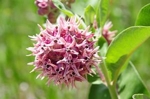 Photo - Showy Milkweed