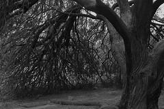 Enchantment (MPnormaleye) Tags: wood bw nature monochrome strange forest 35mm weird woods moody natural wildlife eerie textures utata mysterious arrangement bizarre greyscale bwmonochrome
