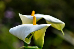 Calla Lily (ArvinderSP) Tags: white flower nature yellow closeup petals nikon lily callalily zantedeschia spadix aethiopica arvindersp