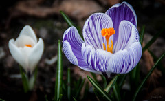 One White, One Purple (Jocey K) Tags: flowers newzealand christchurch crocus christchurchbotanicgardens