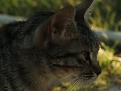 DSCF2204 (Ms. Briongos) Tags: pet animal animals cat catalonia gato animales catalunya mascota gat catalua katalonien catalogne casot catalonha marganell elcasot