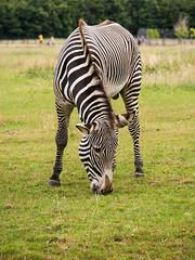 Whipsnade Grevy Zebra (JP de Jong) Tags: camera animals lens outdoors zoo location equipment whipsnade equusgrevyi shottype olympuspenep5 panasoniclumixgvario35100f28 zebragrevy