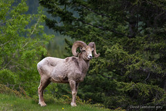 Longhorn Sheep (David Cantatore) Tags: canada rockies nationalpark britishcolumbia alberta banff 2013 longhornsheep