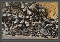 Madness and mayhem at the Mara (Rainbirder) Tags: kenya maasaimara bluewildebeest connochaetestaurinus maramigration rainbirder
