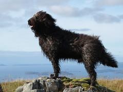 Dougal air Beinn Dubh a' Bhealaich (Màrtainn) Tags: dog chien cão cane scotland highlands isleofskye alba hond escocia panasonic perro hund pies kutya labradoodle alban szkocja hundur suns pes escócia dougal schottland schotland ecosse anjing scozia kopek skottland собака koira skotlanti skotland koer broskos šuo câine escòcia anteileansgitheanach skócia albain iskoçya cù шотландия σκωτία σκύλοσ gàidhealtachd eileansgitheanach beinndubhabhealaich scoţia fz48 dmcfz48 panasonicfz48 panasonicdmcfz48