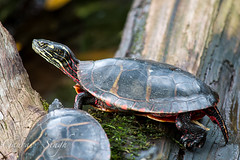 Painted Turtle (gauravs82) Tags: red sun water yellow log colorful turtle reptile stripes painted tail tortoise young shell amphibian shield aquatic juvenile basking