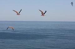 Vuela alto mientras puedas. (Rocío Moreno) Tags: naturaleza portugal mar aves verano gaviotas vacaciones volar vuela rocíomoreno