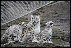 Photoshoots Are So Boring (TheTherapist) Tags: england zoo wildlife hampshire cubs wildcat marwell bigcats snowleopard endangeredspecies marwellzoo tamron70300mm pantherauncia