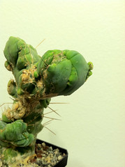 Trichocereus Bridgesii Monstrose Crest (That Cacti Guy) Tags: cactus cacti crest crested echinopsis cristata trichocereus bridgesii