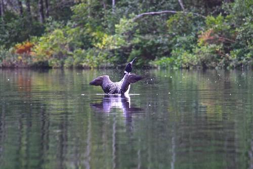 Big Clemons Pond Loon 2 - S Durst