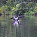 Big Clemons Pond Loon 2 - S Durst