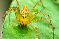 Burmese Lynx Spider (ArvinderSP) Tags: macro insect 50mm spider leaf nikon reversed moneyplant 464 epipremnumaureum burmeselynxspider arvinder oxyopesbirmanicus d7000 arvindersp