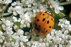 Orange Ladybug on Queen Anne's Lace (sharis snaps) Tags: autumn flower fall closeup insect ladybug queenanneslace