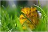 green fall (guido ranieri da re: work wins, always off) Tags: autumn verde green fall grass yellow leaf nikon bokeh erba giallo foglia autunno indianajones d800 mygearandme nonsonoglianniamoresonoichilometri guidoranieridare