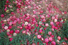 """Tons of Apples on the Ground <a style=""""margin-left:10px; font-size:0.8em;"""" href=""""http://www.flickr.com/photos/91915217@N00/10302965265/"""" target=""""_blank"""">@flickr</a>"""