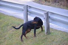 Eddie (ArveBerntzen) Tags: dog animal norge nikon rottweiler doberman nor norvegia norvege norsk valp dobermann trøndelag hvalp f3200 schutzhund bavarioisbouvier