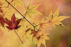 Fall (pollylew) Tags: november autumn fall leaves autumnleaves acer acerpalmatumozakazuki