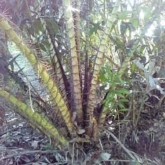 หายเมื่อไหร่จะฌาปนกิจทั้งกอเลย #แค้น #thorn #plant #palm #nature #farm #SalaccaWallichiana #molome #molome