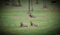 The Elk (Joseph Cerulli) Tags: pennsylvania driftwood elk elkcounty josephcerulli