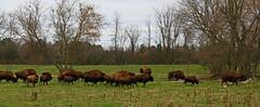 Where the Buffalo roam... (SamSpade...) Tags: buffalo herd roaming 547 damniwishidtakenthat lizasenchantingphotogarden 317813oct