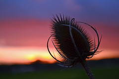 Sunset and Teasel (AndyorDij) Tags: empingham england rutland uk 2014 sunset teasel bokeh andrewdejardin