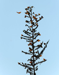 """A Monarch Tree"" (Waldemar*) Tags: california usa butterfly nikon ngc monarch pacificgrove migration westcoast pacificcoast danausplexippus afs70200mmf28gvrii d800e vision:text=0506 vision:outdoor=099 vision:sky=0718"