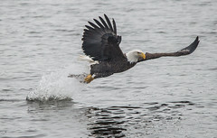 American Bald Eagles 7 (Jan Crites) Tags: bird nature river flying fishing nikon symbol zoom lock dam sigma iowa raptor mississippiriver february fighting soaring eagles birdofprey chasing 2014 d600 nationalsymbol leclaire americanbaldeagles lockanddam14 150500 jancritesphotography