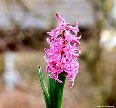 Hyazinthe (mayflower31) Tags: pink flower blume garten spargelgewchs