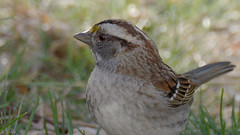 white-throated sparrow (altan o) Tags: sparrow whitethroated