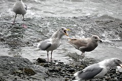 The Feast Part 2 (Tynan Phillips) Tags: sea food seagulls canada bird nature birds animal animals wings bc eating britishcolumbia seagull gull gulls feathers denmanisland avian glaucouswingedgull larusglaucescens baynessound