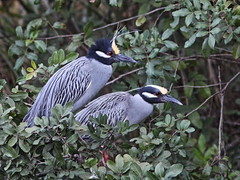 Yellow-crowned Night-Herons 20140313 (Kenneth Cole Schneider) Tags: florida wildlife wetlands miramar
