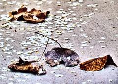 Joining Change or Decay between Seasons (Mertonian) Tags: leaves canon seasons decay blossoms pear change pearblossoms mertonian sx50hs canonsx50hs robertcowlishaw joiningchangeordecaybetweenseasons monkofthewestdesertcom