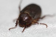 Insecto Volador (Jos Ramn de Lothlrien) Tags: detalle macro insect jr ojos patas alas escarabajo cuernos pequeo miniatura insecto volador asqueroso producciones pelitos caparazon
