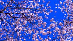 Cherry Blossom, Central Park, Fujifilm X-T1 (fcy photography) Tags: centralpark cherryblossom fujifilmxt1